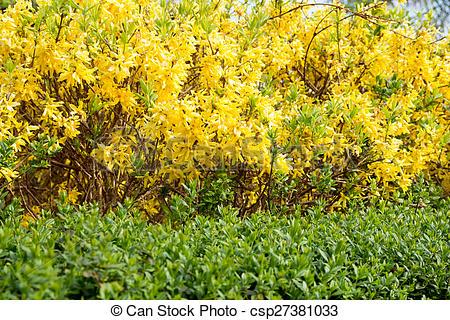 Stock Photos of Forsythia in a garden at spring csp27381033.