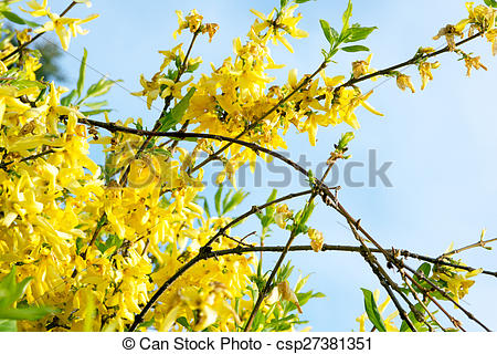 Stock Images of Forsythia in a garden at spring csp27381351.