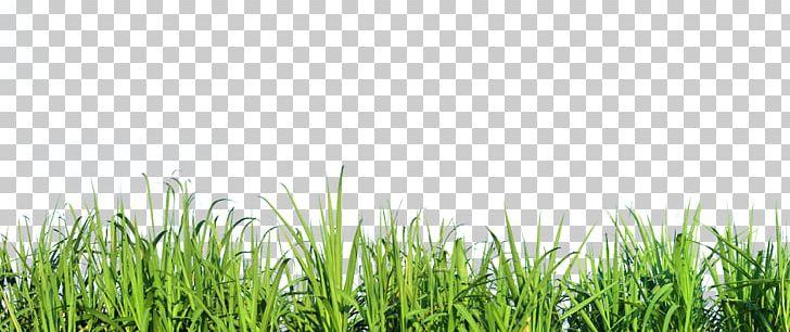 Mexican Feathergrass Lawn Silvergrass Ornamental Grass PNG, Clipart.