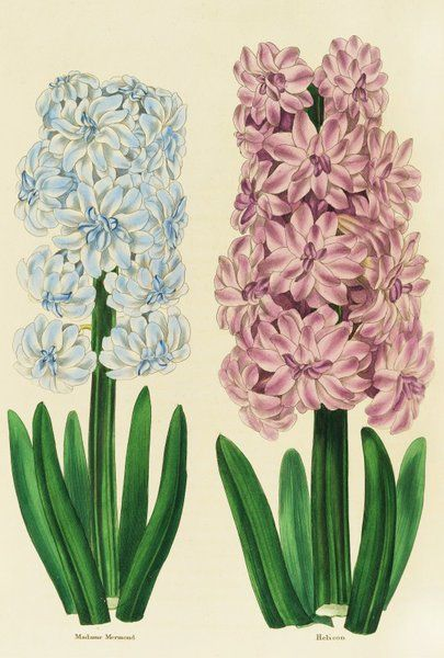 1000+ images about hyacinth on Pinterest.