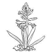 Hyacinth Clip Art Royalty Free. 229 hyacinth clipart vector EPS.