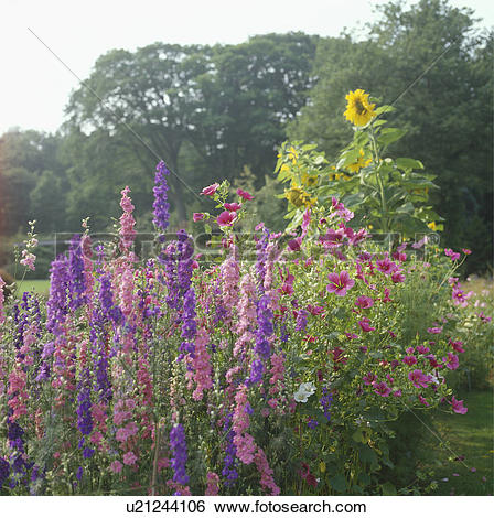 Stock Images of Pink and blue larkspur in summer garden border.