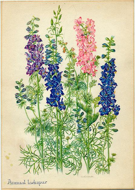 Annual Larkspur Vintage Botanical Illustration by Edith Johnston.