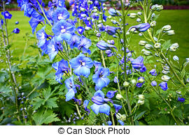 Larkspur Stock Photo Images. 525 Larkspur royalty free images and.