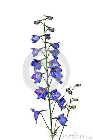 Isolate Flower Delphinium ( Larkspur ) On A White Background Stock.
