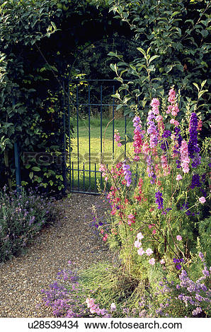 Stock Photo of Larkspur beside gravel path and iron gate in hedge.