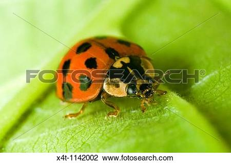 Stock Photo of Close up of the Harlequin ladybird Harmonia.