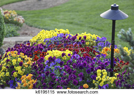Stock Image of Pansies And Garden Light k6195115.