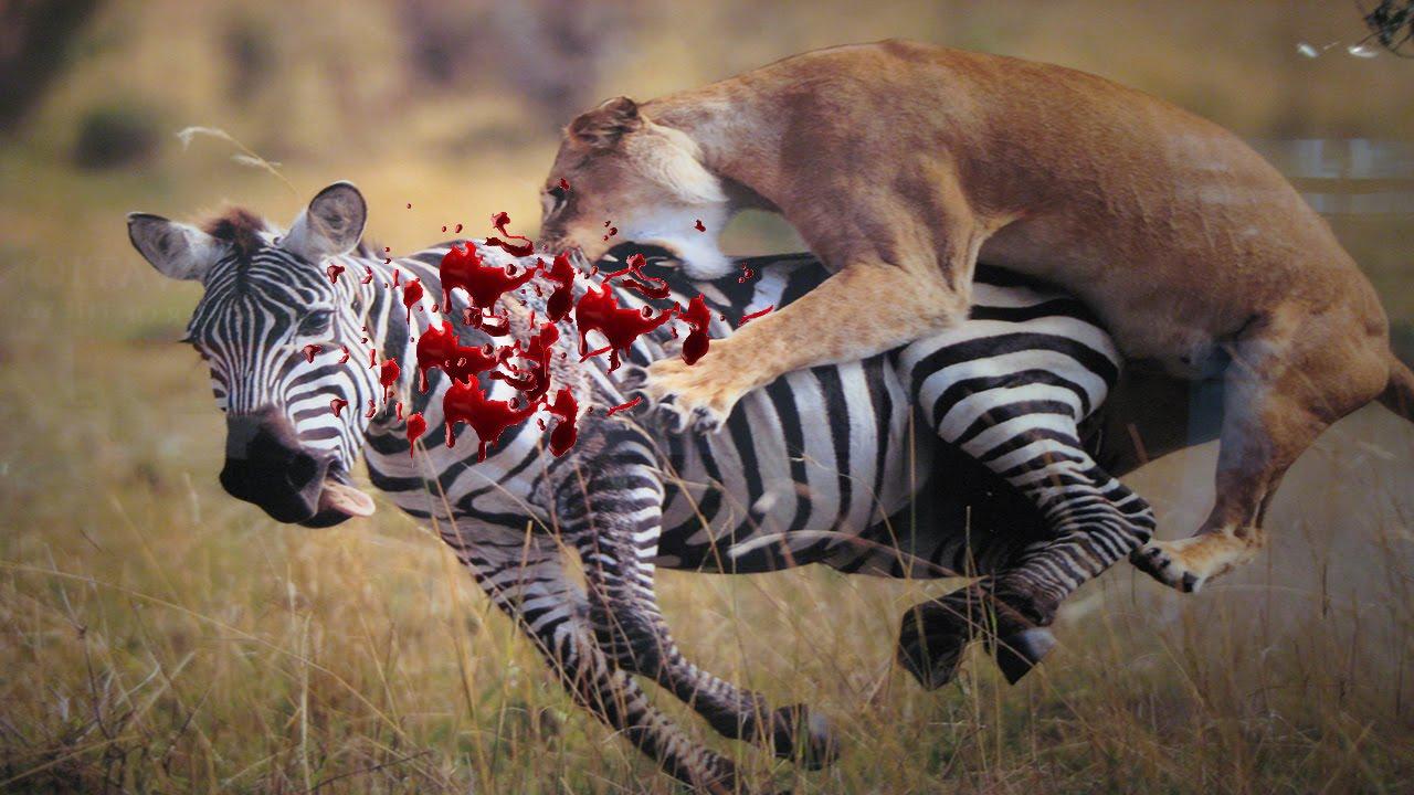 Lion attack Zebra Fight to the Death.