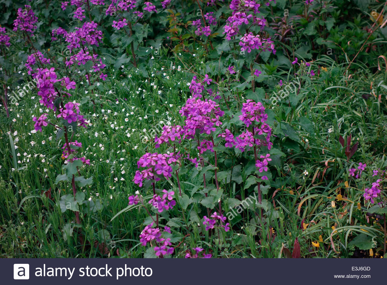 Lunaria Stock Photos & Lunaria Stock Images.