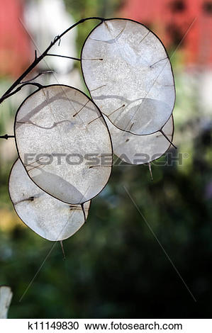 Stock Photography of Lunaria Mill k11149830.