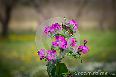 Lunaria Or Honesty Flowers In The Garden. Stock Photo.