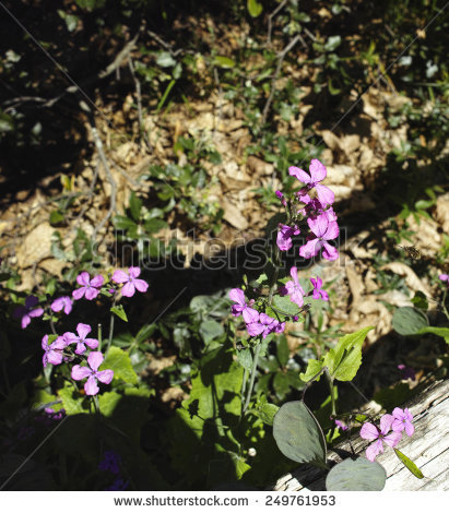 Lunaria Rediviva Stock Photos, Royalty.