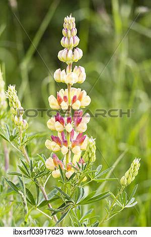 "Stock Photo of ""Bigleaf Lupine or Garden Lupine (Lupinus."
