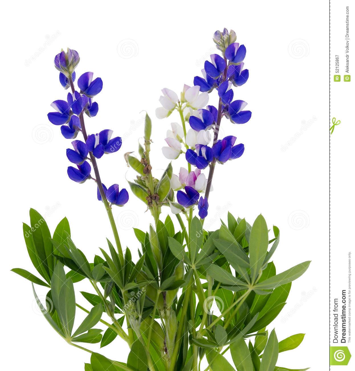Wild Blue Lupine Stock Photo.