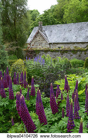 Stock Images of Cottage garden, garden bed with lupines (Lupinus.
