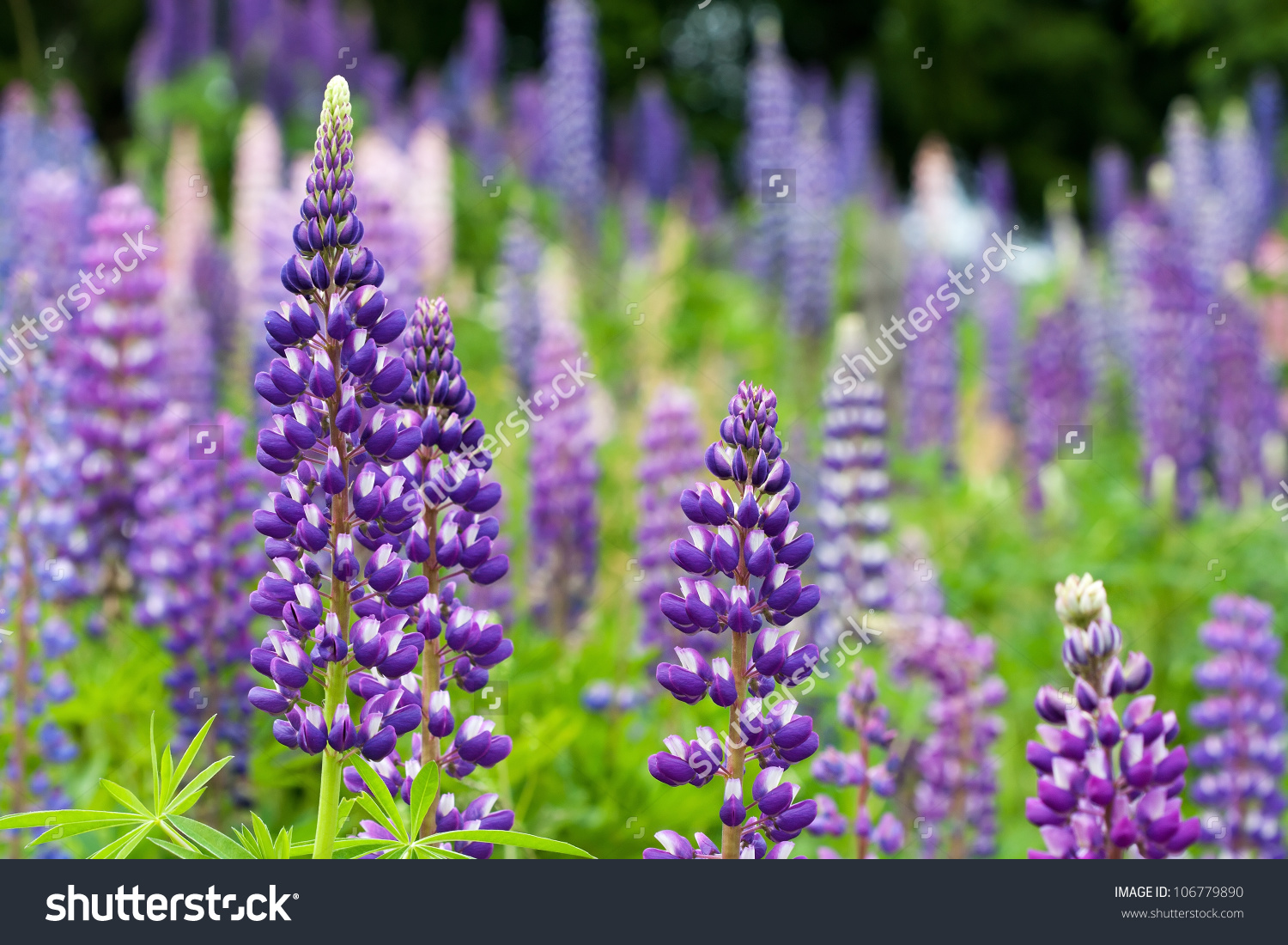 Wild Lupines Growing Black Forest Germany Stock Photo 106779890.