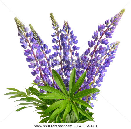 Lupine Isolated Stock Photos, Royalty.