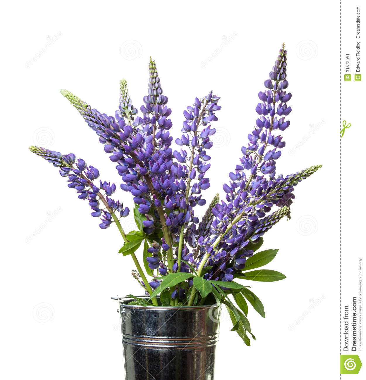 Lupine Stock Photos, Images, & Pictures.