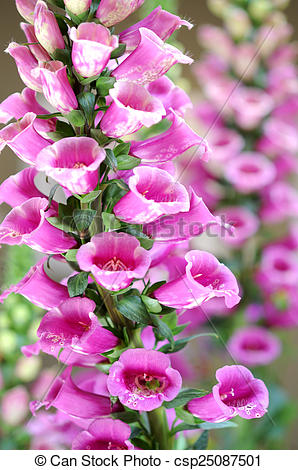 Stock Photography of lupine flowers.