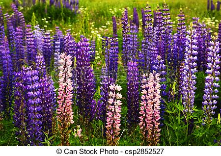 Lupine Images and Stock Photos. 3,003 Lupine photography and.