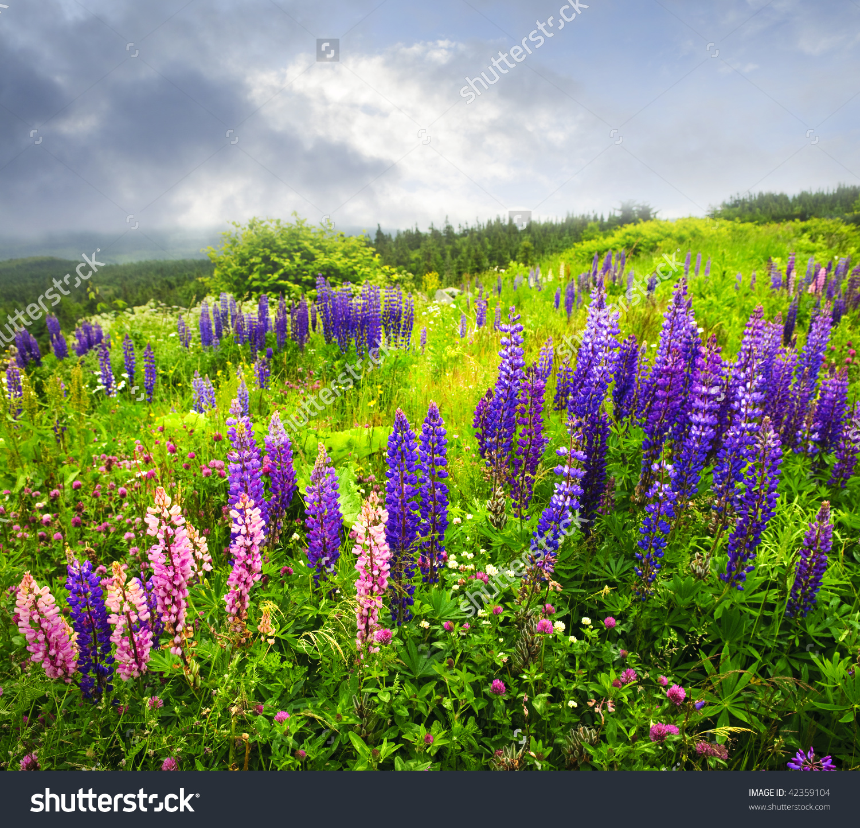 Purple Pink Garden Lupin Wild Flowers Stock Photo 42359104.