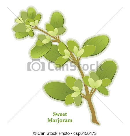 Vectors of Sweet Marjoram Herb.