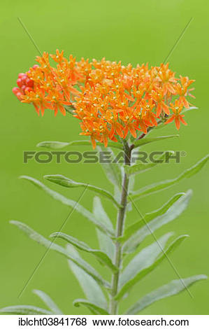 "Pictures of ""Garden Montbretia (Crocosmia x crocosmiiflora."