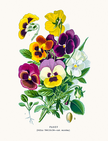 Pansy Clip Art, Vector Images & Illustrations.