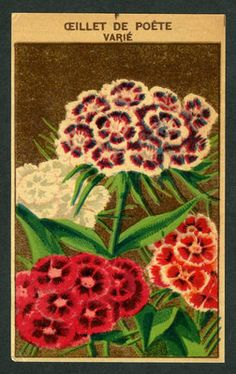 French seed packet, old fashioned seed package, vintage petunia.