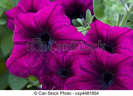Stock Photo of purple velvet petunia garden flowers csp4481854.