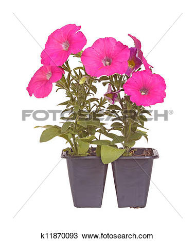Stock Photo of Pack containing two seedlings of pink.