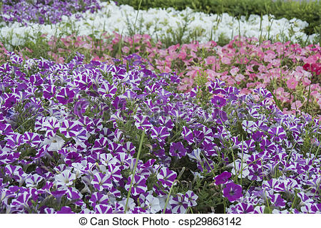 Stock Photo of Many petunia flowers in a garden csp29863142.