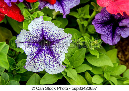 Stock Images of petunia flower on the garden.