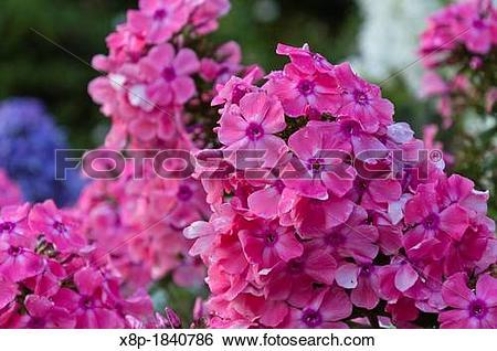 Stock Images of Garden phlox Phlox paniculata ?Pastorale? x8p.