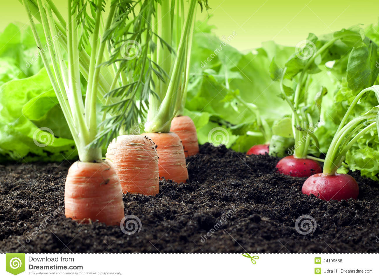 Carrots And Radish Growing In The Garden Royalty Free Stock Photos.