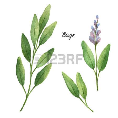 321 Garden Sage Stock Vector Illustration And Royalty Free Garden.