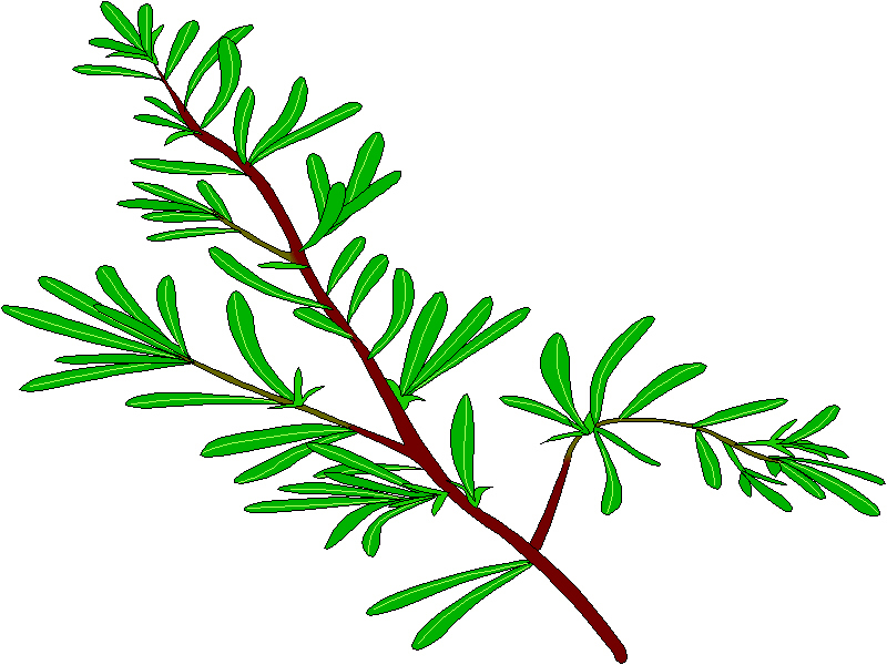 Rosemary herb clipart.