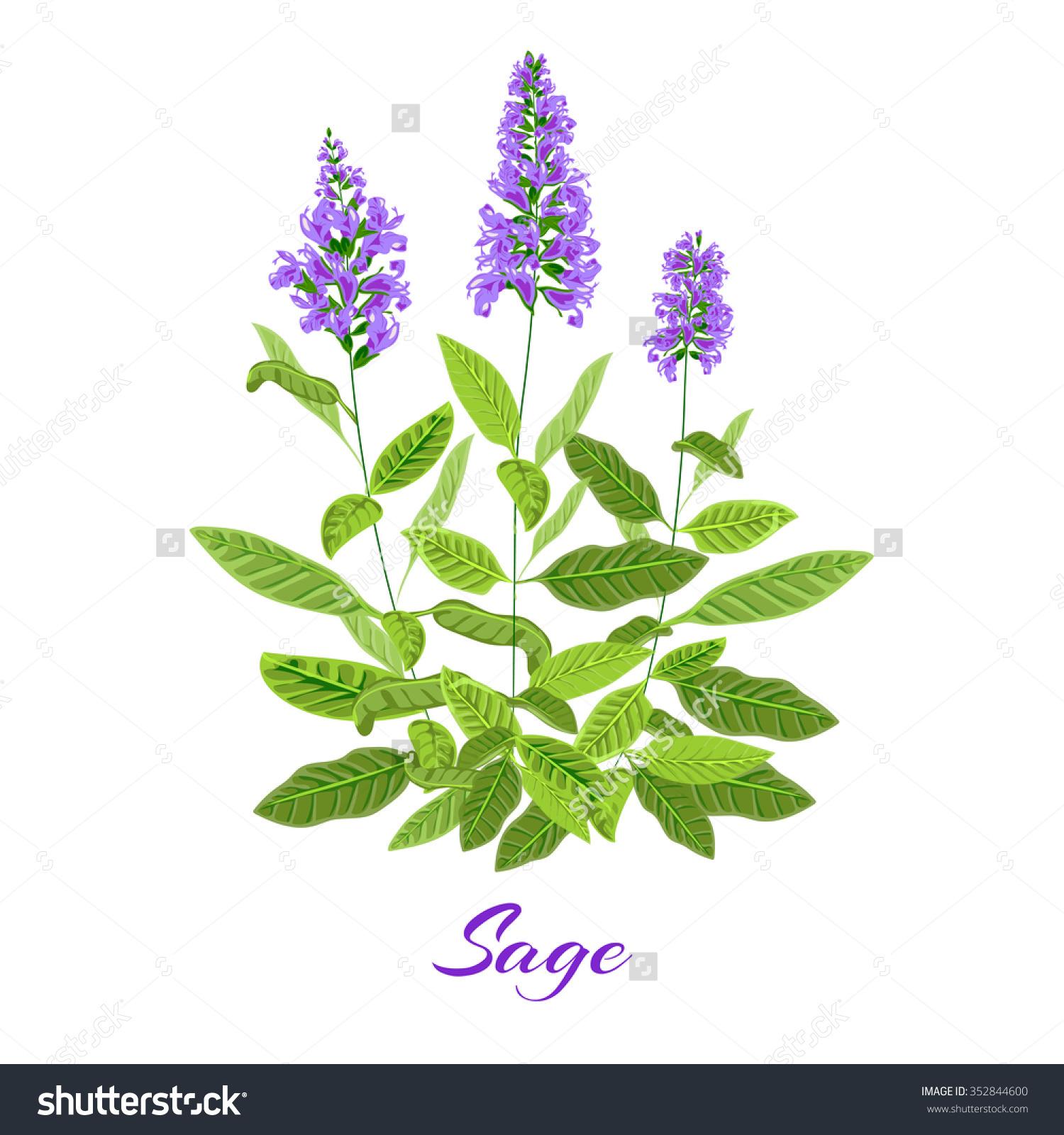 Flowering Sage Sage Herb Vector Illustration Stock Vector.