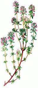 Free Garden Savory Clipart.