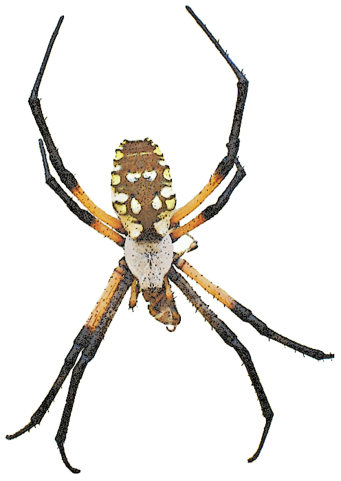 garden spider Texas.