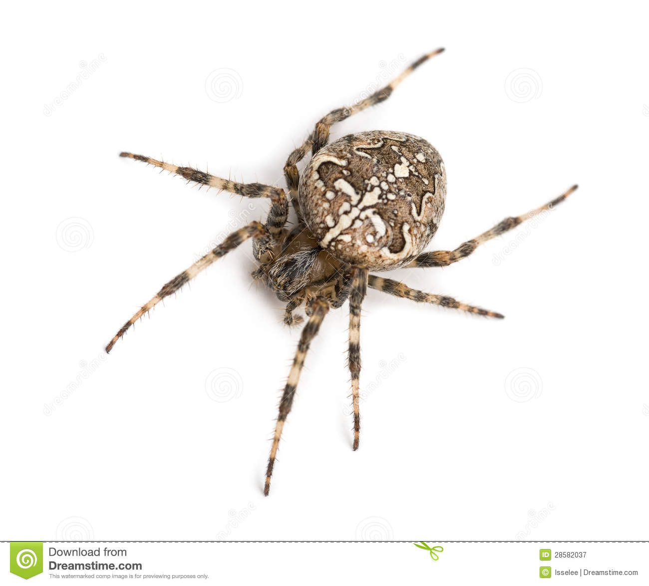 Top View Of An European Garden Spider Royalty Free Stock Images.