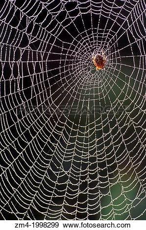 Stock Photograph of USA, WASHINGTON, GARDEN SPIDER IN SPIDER WEB.