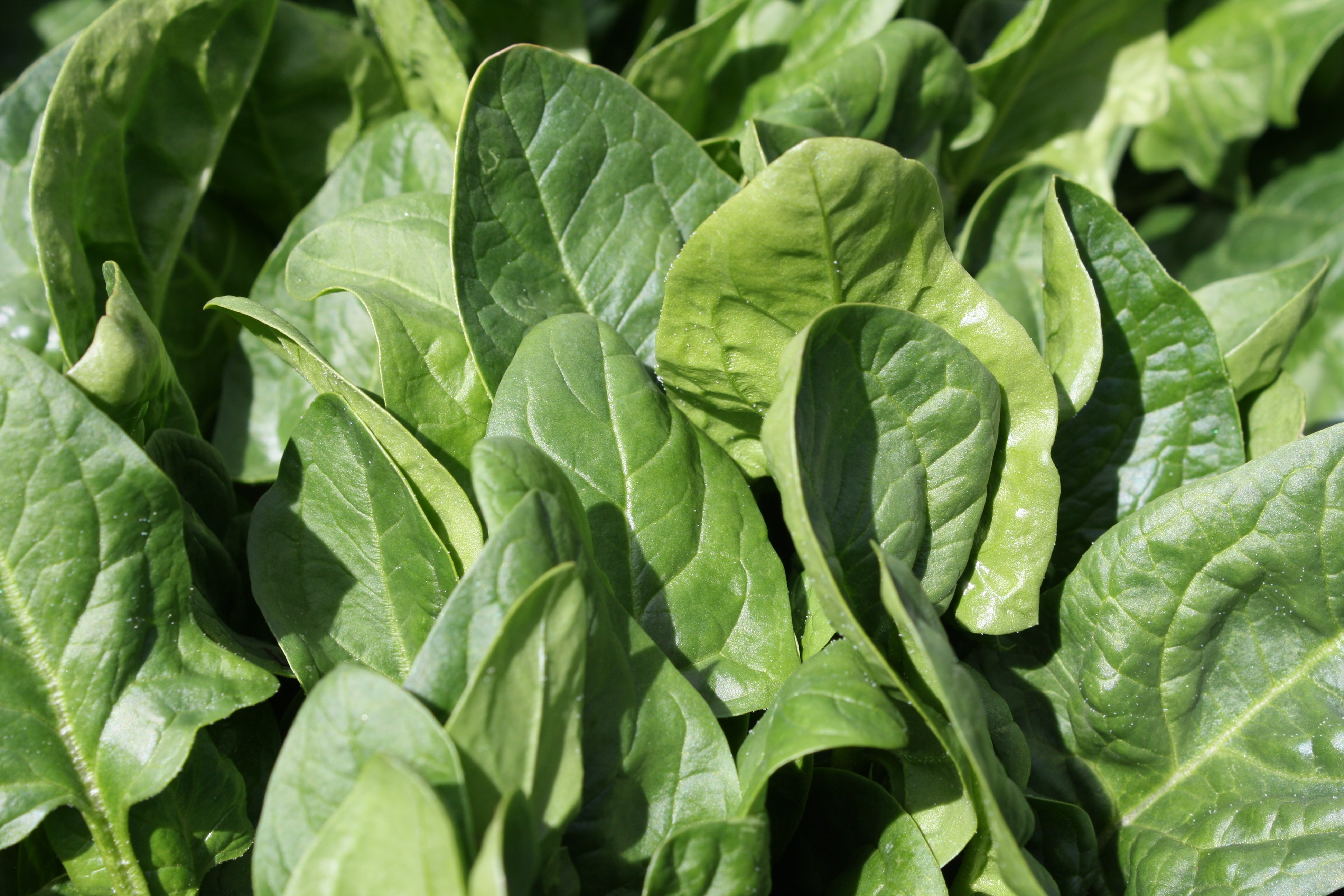 Spinach Picture.