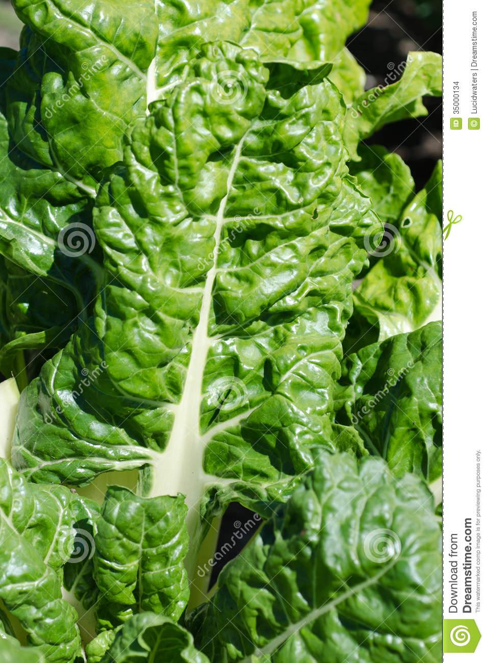 Spinach / Silver.