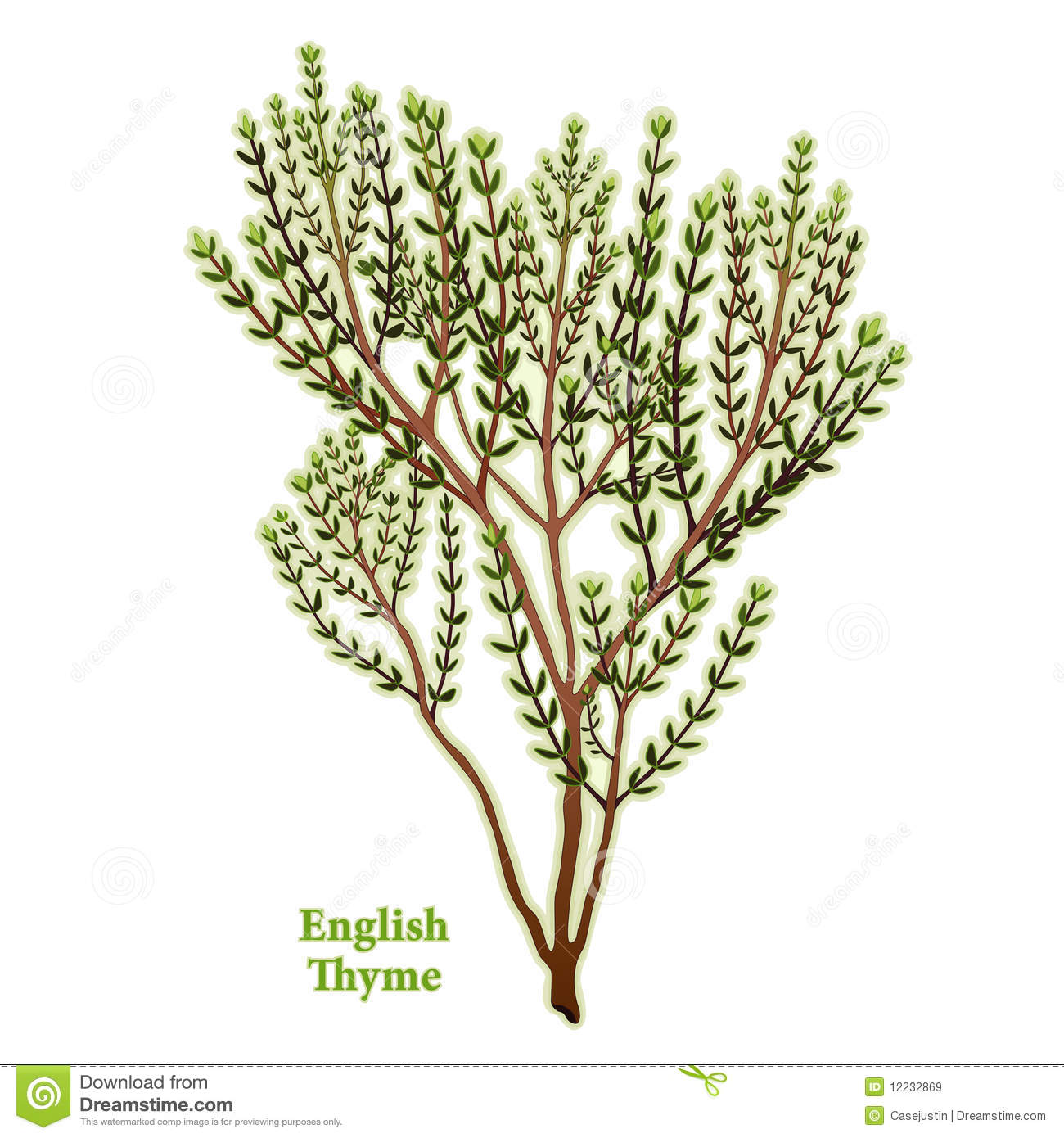 Thyme Stock Illustrations.