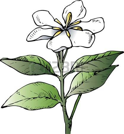 177 Gardenia Stock Vector Illustration And Royalty Free Gardenia.