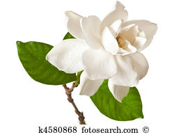 Gardenia Stock Photo Images. 986 gardenia royalty free images and.