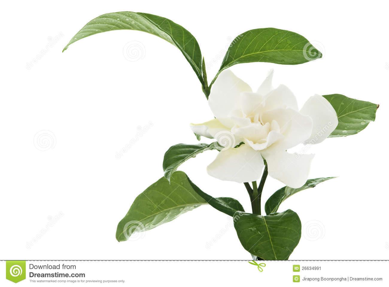 White Gardenia Flower Isolated Branch Stock Photo.