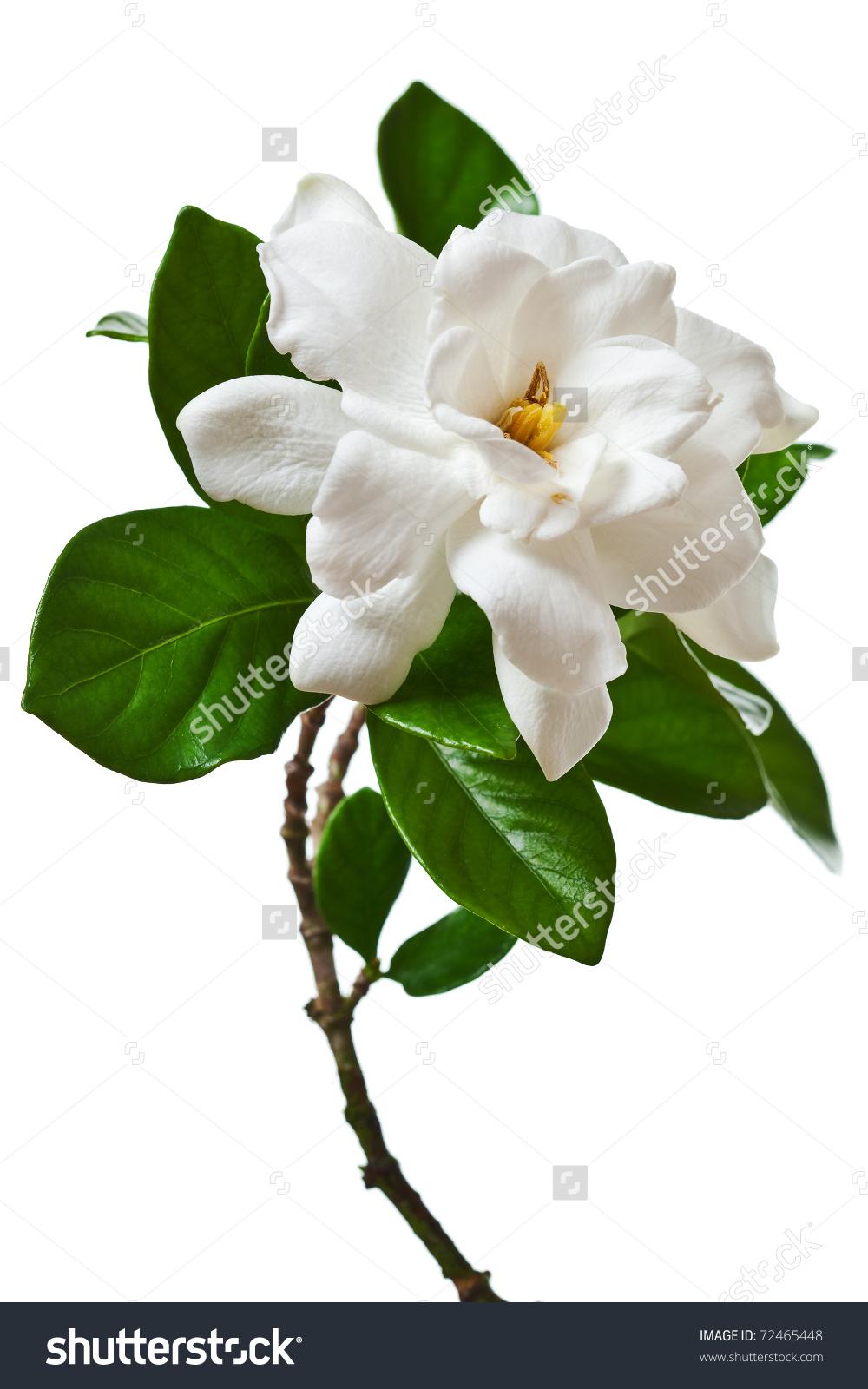 White Gardenia Blossom Isolated Stock Photo 72465448.
